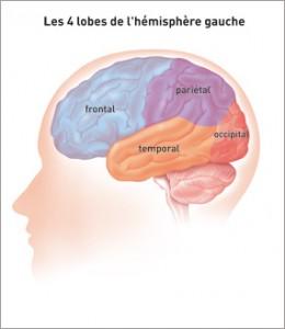 4-lobes-de-lhmispre-gauche-du-cerveau-v3